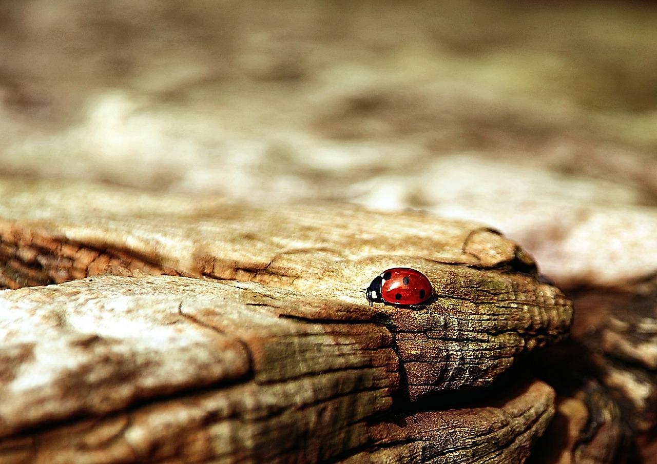 ladybug-354521_1280
