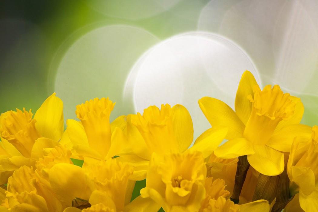 daffodil-1161057_1280