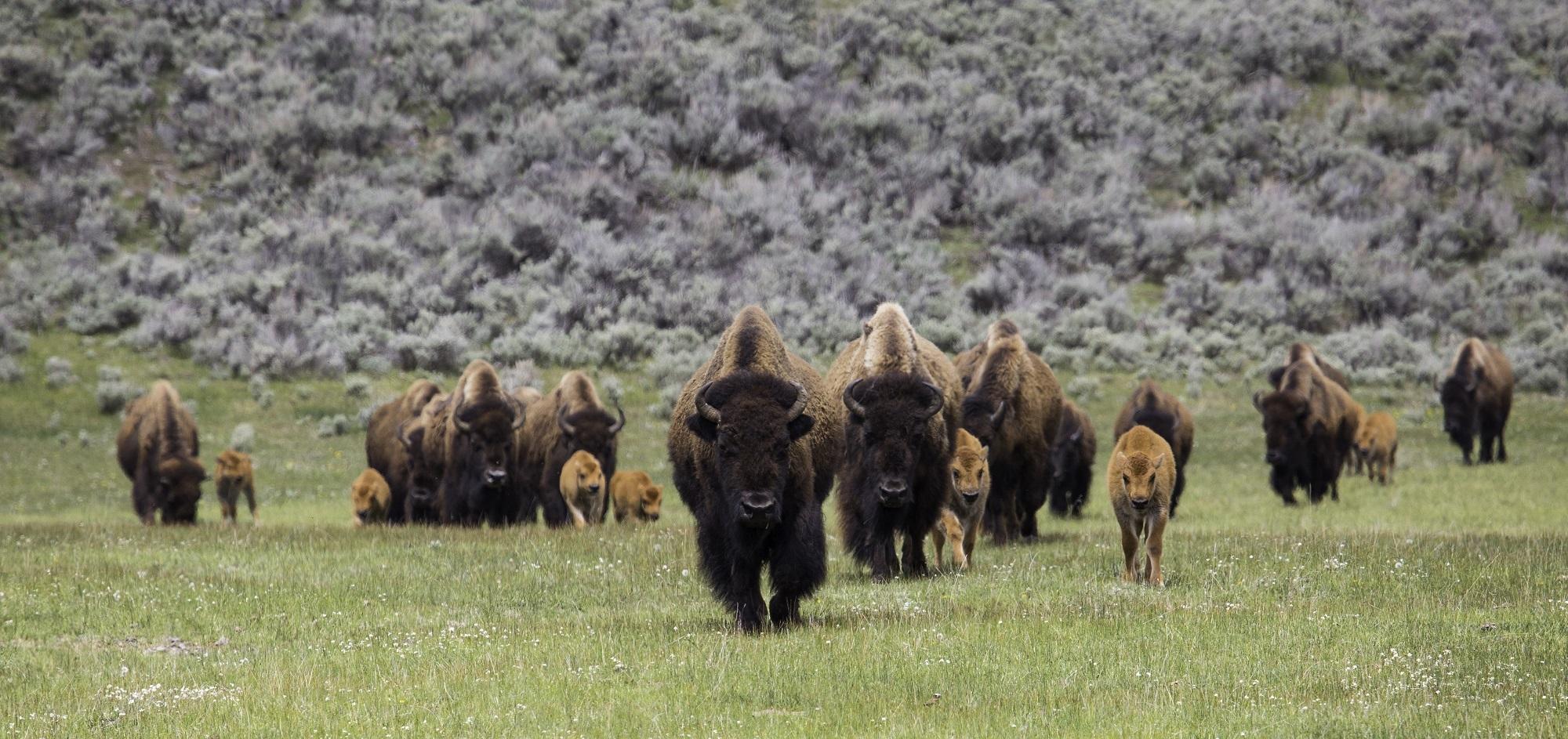 bison-873400