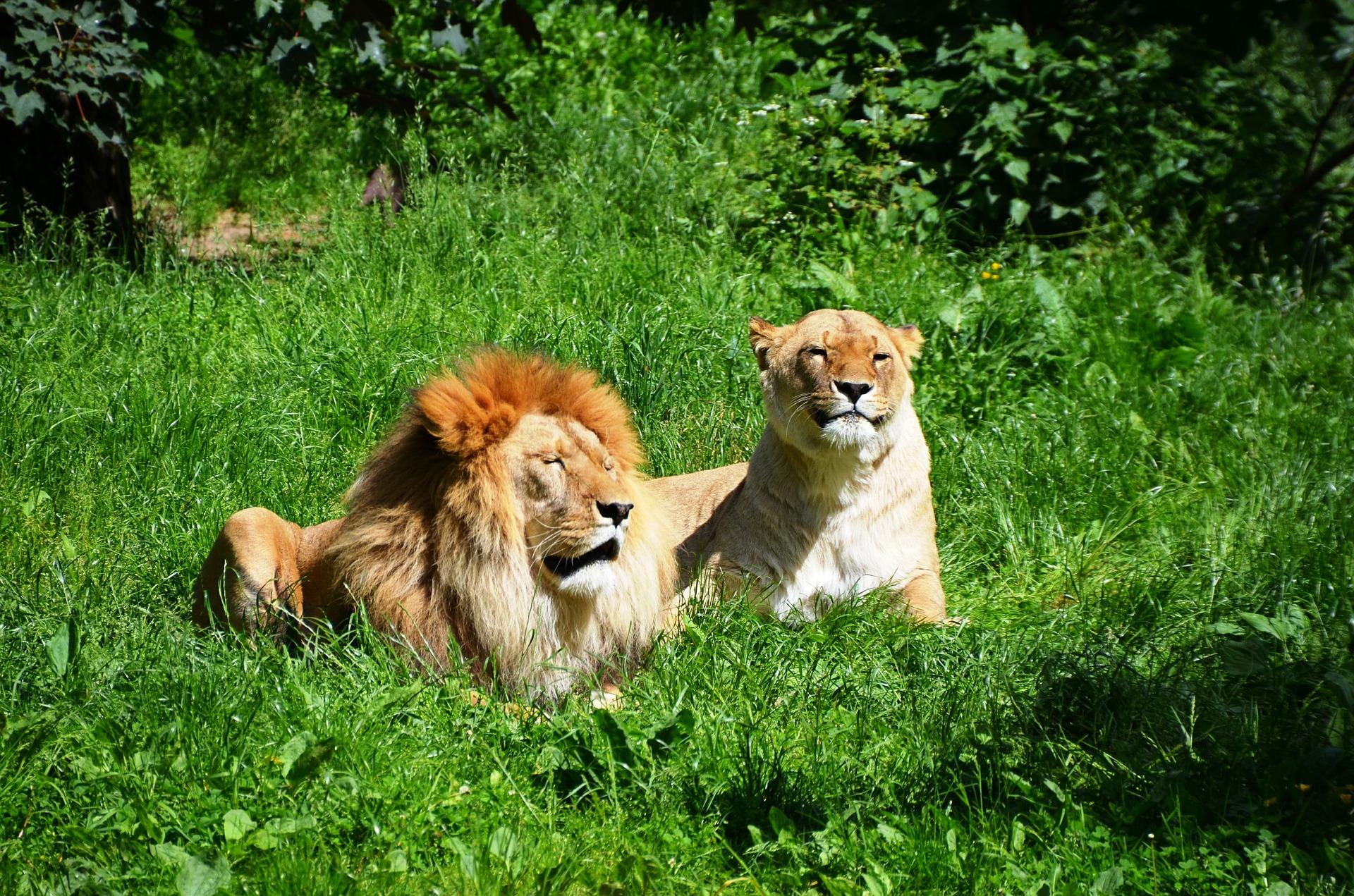 lion-359241_1920