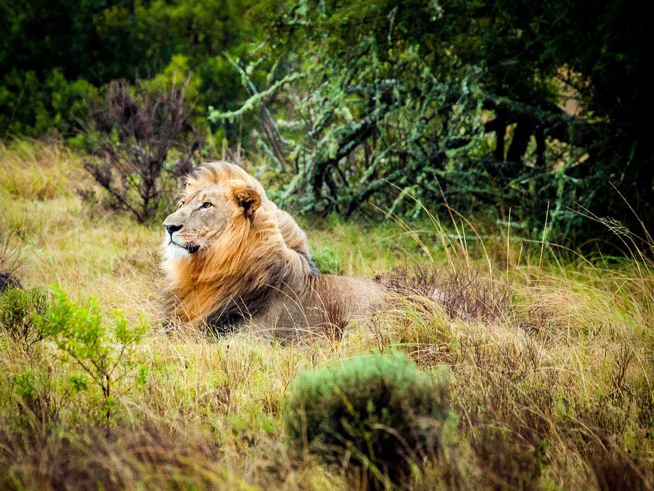lion-1514079_1280
